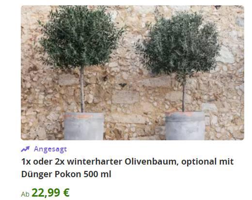 Groupon: Zwei winterharte Olivenbäume für 40,03 Euro frei Haus